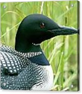 Common Loon, La Mauricie National Park Acrylic Print by Philippe Henry