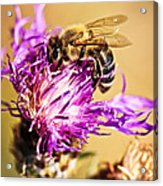 Honey Bee  Acrylic Print by Elena Elisseeva