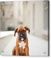 2 Month Old Boxer Puppy Standing In Alley Acrylic Print by Diyosa Carter