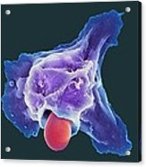 Neutrophil Engulfing Thrush Fungus, Sem Acrylic Print by