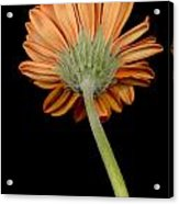 Orange Gerber Acrylic Print by Al Hurley