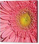 Pink Gerber Acrylic Print by Al Hurley