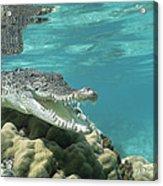 Saltwater Crocodile Crocodylus Porosus Acrylic Print by Mike Parry