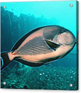 Sohal Surgeonfish Acrylic Print by Georgette Douwma