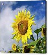 Close Up Of Sunflower Acrylic Print by Bernard Jaubert