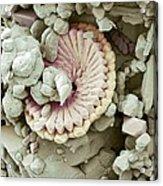 Fossil Debris In Chalk, Sem Acrylic Print by Steve Gschmeissner