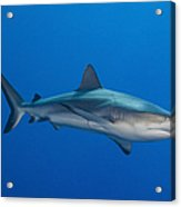 Gray Reef Shark, Kimbe Bay, Papua New Acrylic Print by Steve Jones