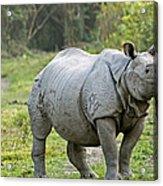 Indian Rhinoceros Acrylic Print by Tony Camacho