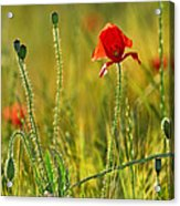Poppies Acrylic Print by Guido Montanes Castillo