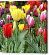 Tulip Garden University Of Pittsburgh  Acrylic Print by Thomas R Fletcher