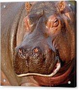 Hippopotamus Hippopotamus Amphibius Acrylic Print by Gerry Ellis