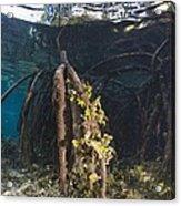 Mangrove Swamp Acrylic Print by Georgette Douwma