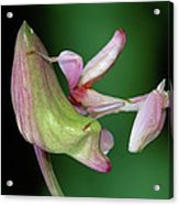 Orchid Mantis Hymenopus Coronatus Acrylic Print by Thomas Marent