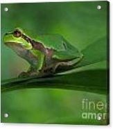 Tree Frog Acrylic Print by Odon Czintos