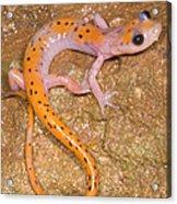Cave Salamander Acrylic Print by Dante Fenolio