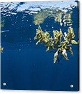 Tropical Seaweed Acrylic Print by Alexis Rosenfeld