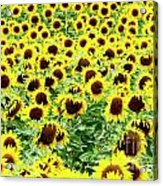 Field Of Sunflowers Acrylic Print by Bernard Jaubert