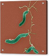 Helicobacter Pylori Bacteria, Sem Acrylic Print by