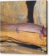 Spring Salamander Acrylic Print by Dante Fenolio