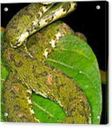 Eyelash Viper Acrylic Print by Dante Fenolio