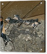 A Barn Swallow Mother Feeds Her Young Acrylic Print by Norbert Rosing