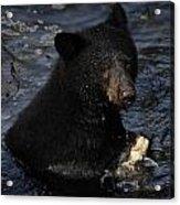 A Black Bear Feeds On Salmon In Anan Acrylic Print by Melissa Farlow