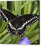 A Black Swallowtail Butterfly, Papilio Acrylic Print by George Grall