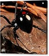 A Black Widow Spider Latrodectus Acrylic Print by George Grall