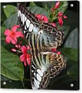 A Blue Clipper Butterfly Feeds Acrylic Print by George Grall