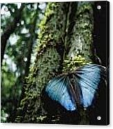 A Blue Morpho Butterfly Acrylic Print by Joel Sartore