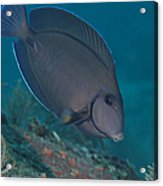 A Blue Tang Surgeonfish, Key Largo Acrylic Print by Terry Moore