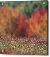A Blueberry Patch Alongside Maines Acrylic Print by Nick Caloyianis