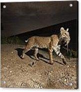 A Bobcat Crosses A Rio Grande Border Acrylic Print by Joel Sartore