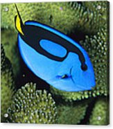 A Bright Blue Palette Surgeonfish Acrylic Print by Tim Laman