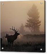 A Bull Elk Stands With Two Females Acrylic Print by Michael S. Quinton