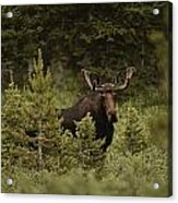 A Bull Moose Stops For A Photograph Acrylic Print by Raymond Gehman