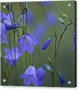 A Close Up Of Mountain Hairbells Dietes Acrylic Print by Ralph Lee Hopkins