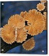 A Common Split Gill Mushrooms Sit Acrylic Print by Darlyne A. Murawski