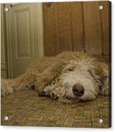 A Dog Lies On A Linoleum Floor Acrylic Print by Joel Sartore