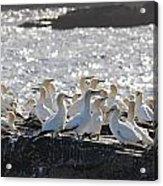 A Flock Of Gannets Standing On A Rock Acrylic Print by John Short
