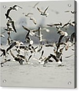 A Flock Of Laughing Gulls Larus Acrylic Print by Tim Laman