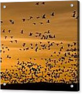 A Flock Of Snow Geese Chen Caerulescens Acrylic Print by Ralph Lee Hopkins