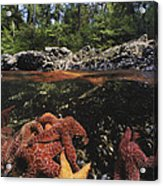 A Group Of Ochre Sea Stars Clustered Acrylic Print by Bill Curtsinger