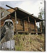 A Hawk Owl Sits On A Stump Near A Log Acrylic Print by Michael S. Quinton