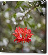 A Hibiscus Schizopetalus Flowers Acrylic Print by Taylor S. Kennedy