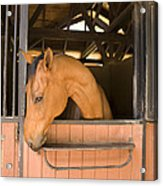 A Horse In Its Stable Acrylic Print by Stacy Gold