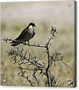 A Juvenile Hobby Perches On A Branch Acrylic Print by Klaus Nigge