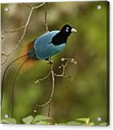 A Male Blue Bird Of Paradise Perched Acrylic Print by Tim Laman