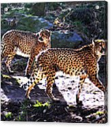A Pair Of Cheetah's Acrylic Print by Bill Cannon