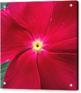 A Red Vinca Flower Acrylic Print by Chad and Stacey Hall